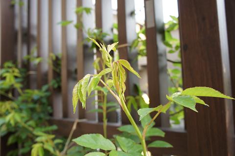 つるアイスバーグ花芽20110420-3