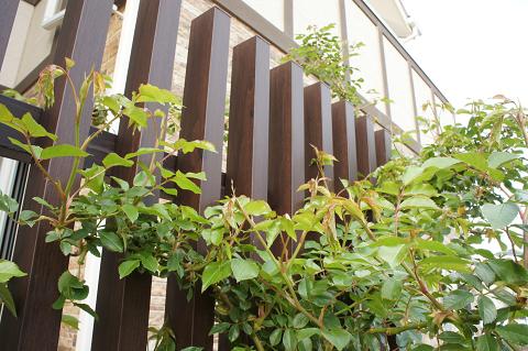 つるアイスバーグ花芽20110420-2