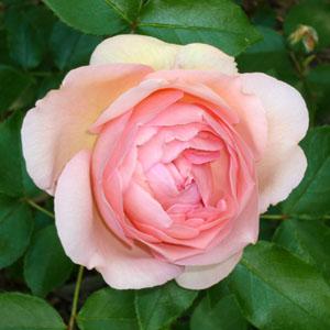 rose_110610_02_300