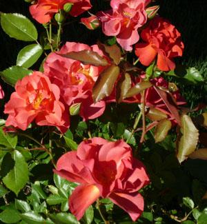 rose_110610_04_300