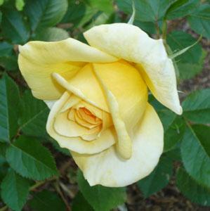 rose_110610_05_300