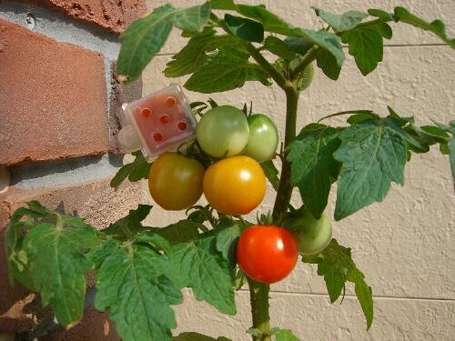 四角いトマト