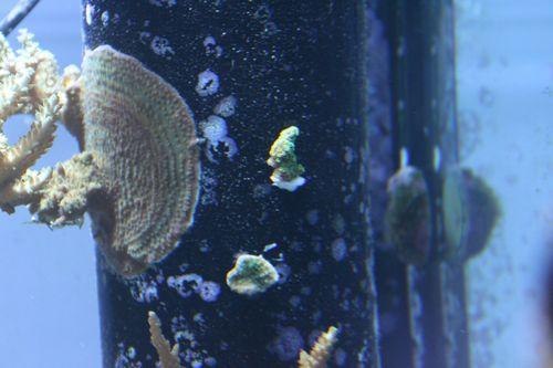 110905フロー管サンゴ④⑤