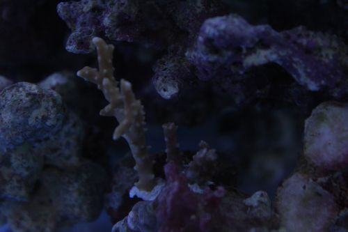 110908サブ水槽トゲミドリイシ