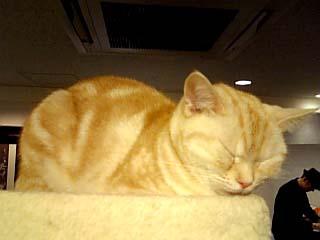 猫カフェきゃりこ おねむトラ猫