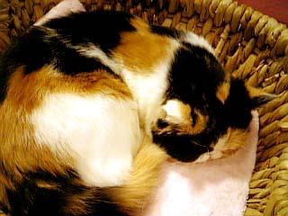 猫カフェきゃりこ 三毛猫