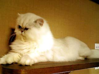 猫カフェきゃりこ 白シャム