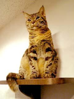 猫カフェきゃりこ トラ猫