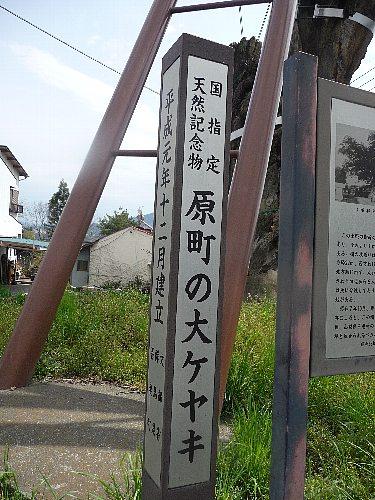 原町の大ケヤキ