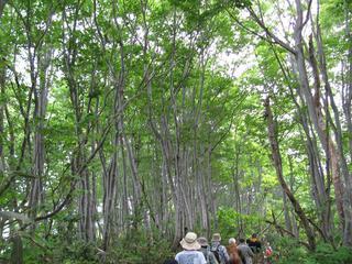 花立峠からのブナ林
