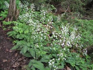 登山道沿道に咲くオサバグサ