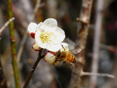 梅の花03