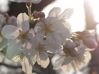桜201001