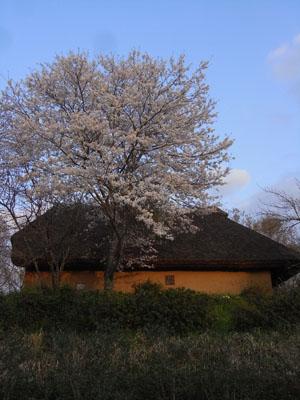 桜201002