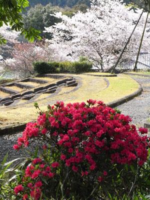 ツツジと桜