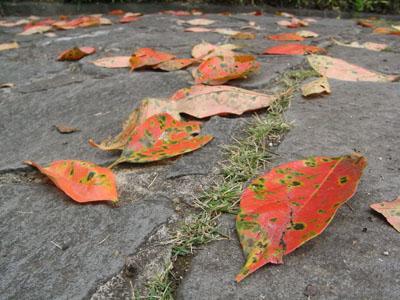 柿の葉02