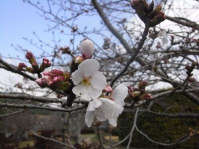 桜201100
