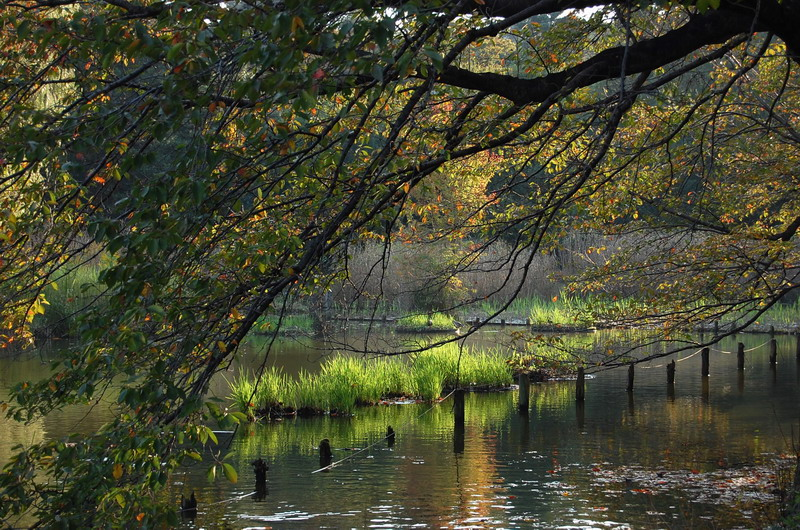 下池枯れ桜1