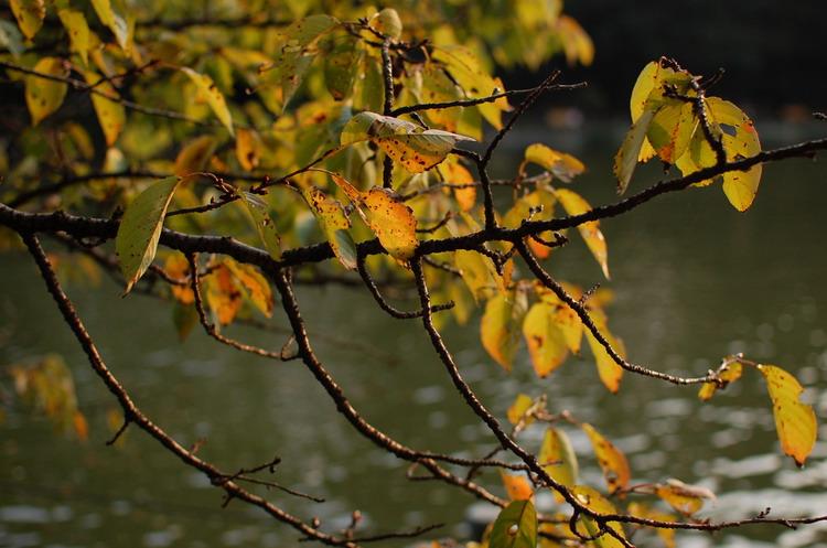 上池サクラ