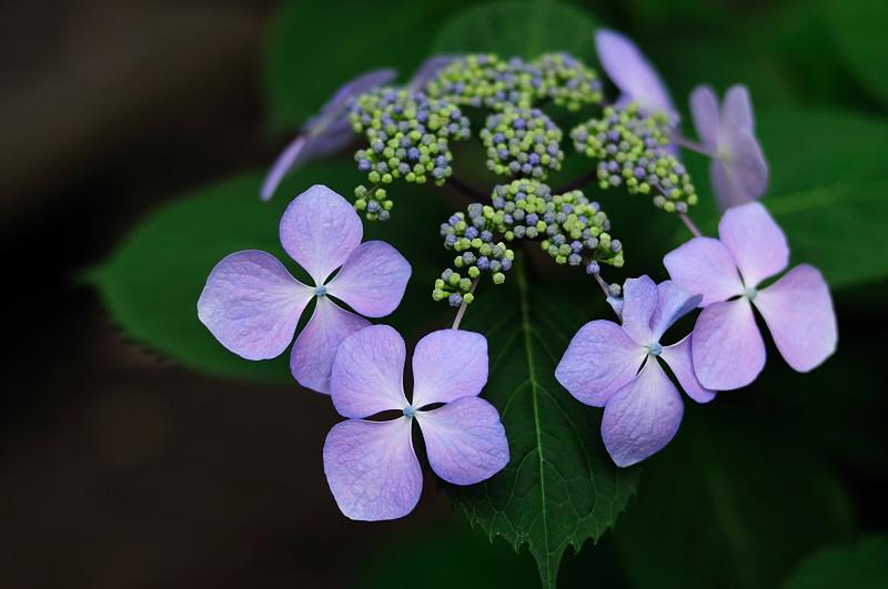 紫陽花2_