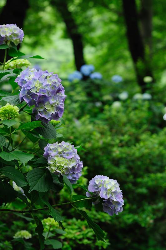 紫陽花7__01