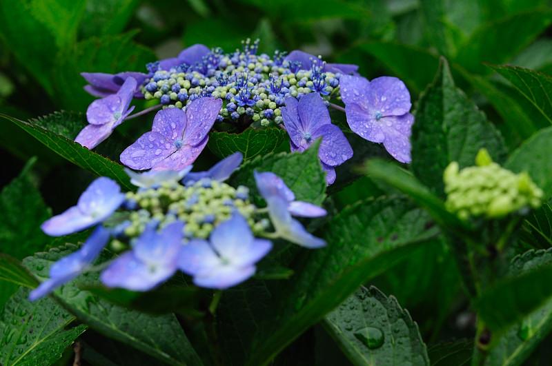 紫陽花10_