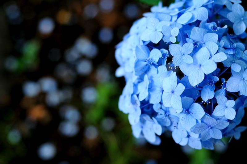 紫陽花14_