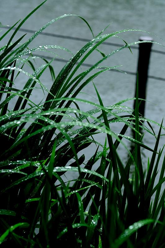草に雨粒1_