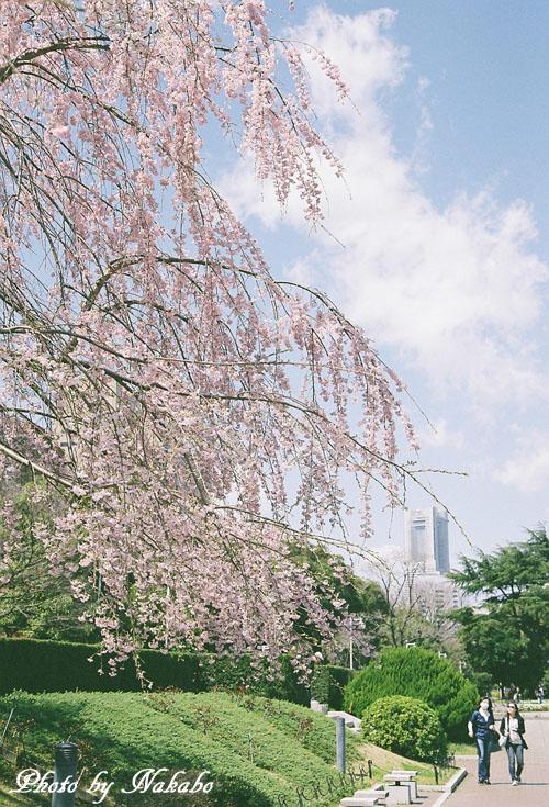 Cherry12.jpg