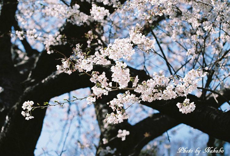 Cherry16.jpg