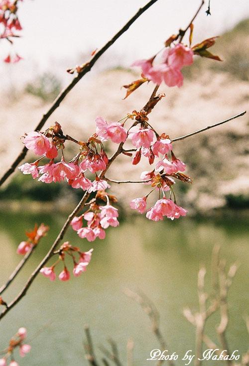 Cherry6.jpg