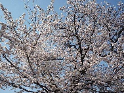 100403桜1