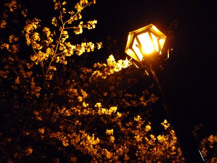 100404夜桜1