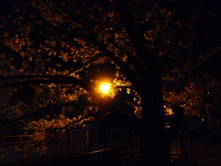 100404夜桜2