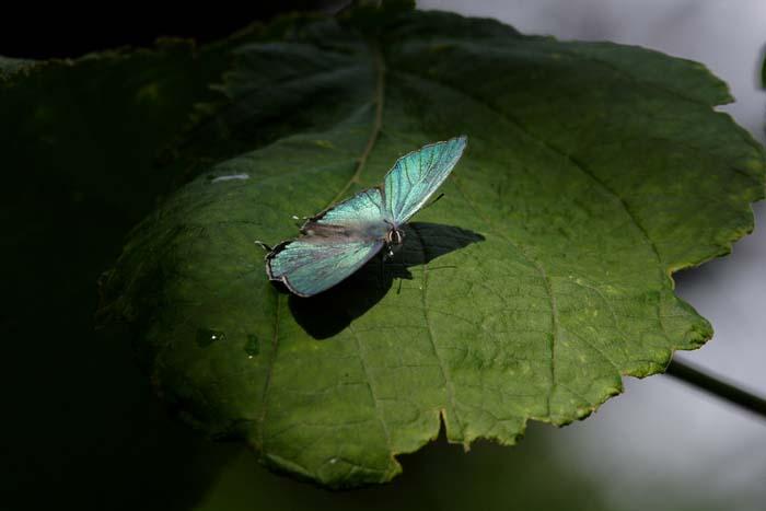 オオミドリ開翅