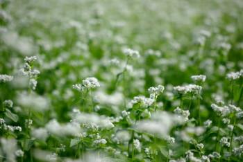 蕎麦の花4_1