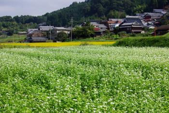 蕎麦畑2_1