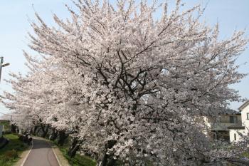 満開の桜道