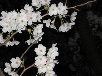 夜桜きれいです
