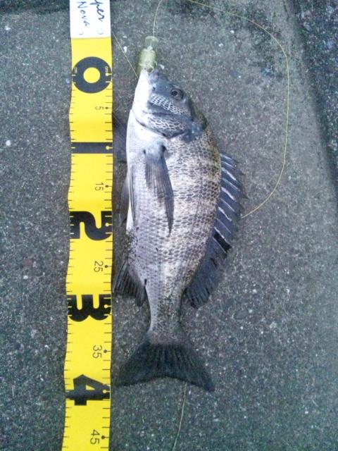 黒鯛20100911