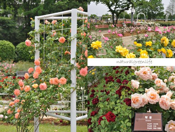 伊奈の薔薇公園