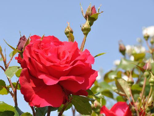 rose0165b.jpg