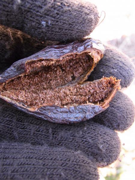 ツチアケビの種