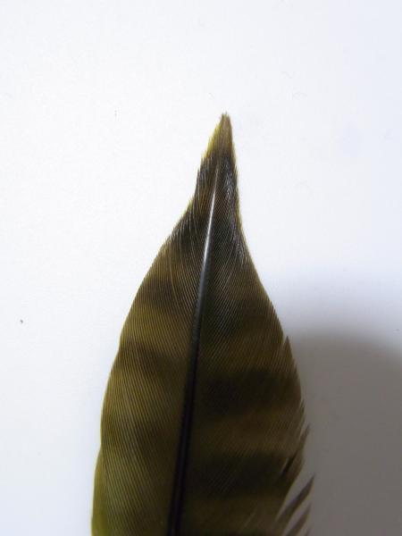 アオゲラの尾羽