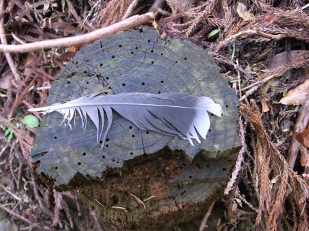 キジバトの尾羽