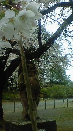 茂林寺の狸と桜1
