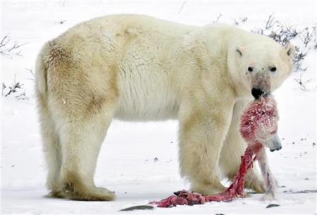シロクマ共食い
