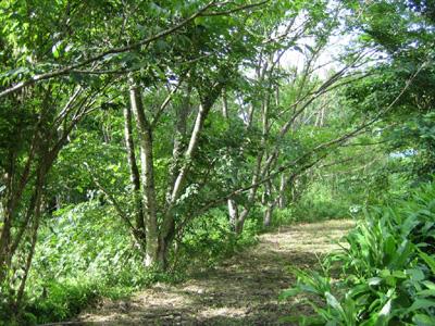 シコロの木