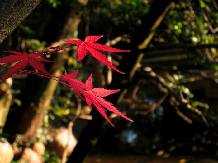 昆陽寺の紅葉8(by IXY DIGITAL 910IS)