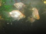 ニッケン金魚